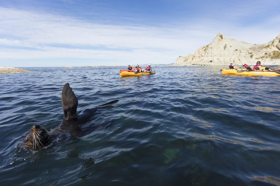 Perfect conditions for a wave from a seal during a pedal kayak with Levi of Levi Pedal Kayak Tours at Kaikoura. Photo: Derek Morrison